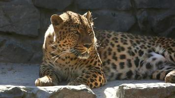 Jaguar video