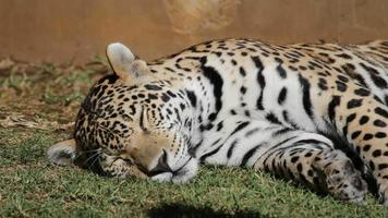 mannelijke jaguar video