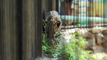 cucciolo di giaguaro che cammina lungo la gabbia