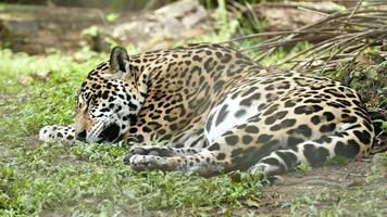 Jaguar (Panthera Onca) lying down and sleeping in grass with breathing movements video