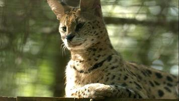 Serval (Cat) Shaking Head in Slow Motion