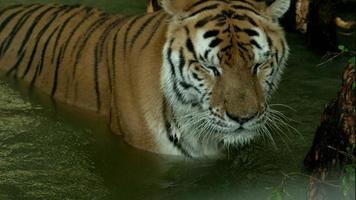 tigre del Bengala in piedi in acqua