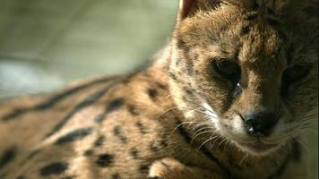 serval (chat) sifflant