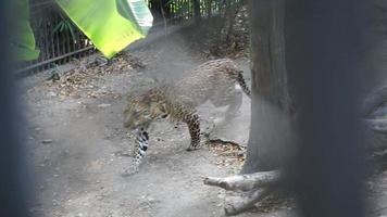 giaguaro dietro la gabbia che cammina, due colpi combinati video