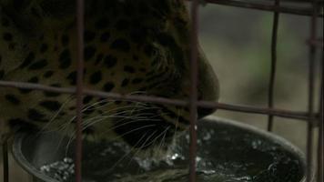 leopardo bebiendo agua en cámara lenta 2 video