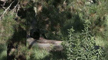 schwarzer Panther sitzt auf einem Baumstamm mit einem Stück Fleisch.
