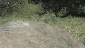 panthère noire transportant de la viande.