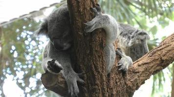 australia - koalas
