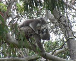 koala con bambino
