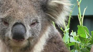 coala na árvore video