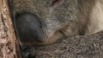 coala vcu dormindo video
