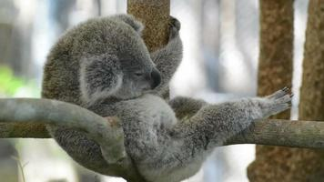 koala come hojas de eucalipto
