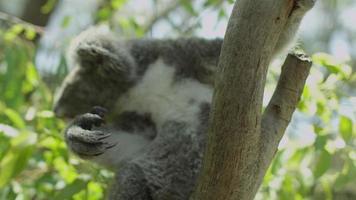 Koala en árbol - Australia