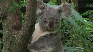 Koala Bear Looking Around