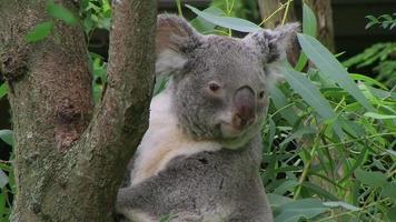 oso koala escalada 02
