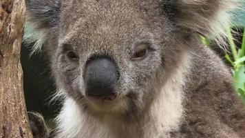 close-up do coala video