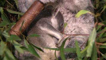 lindo bebé koala en un árbol