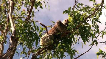 Koala en un árbol - Australia
