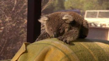 lindo canguro bebé - australia