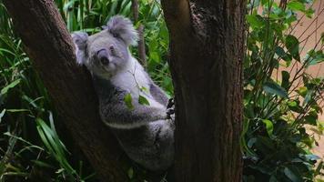 Koala sitting in a tree (4K/UHD to HD)