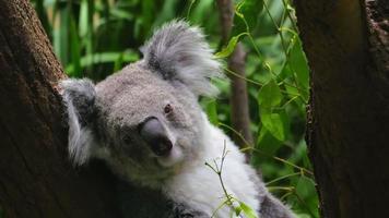 coala sentado em uma árvore, close-up (4k / uhd para hd) video