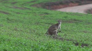 giovane wallaby e madre guardando la telecamera al rallentatore a mission beach queensland, australia. video