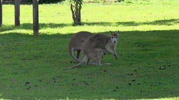 wallaby salta via a mission beach, australia. video