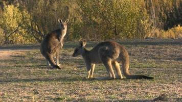 twee kangoeroe die gras in park eet video