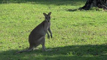 wallaby guardando verso la telecamera a mission beach, australia.