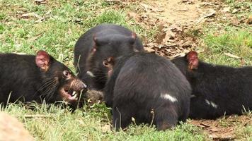 diavoli della Tasmania mangiare