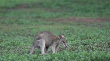 pruriginoso wallaby al rallentatore a mission beach, australia video