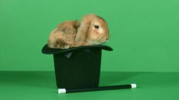 coniglio marrone dentro un cappello a cilindro e una bacchetta magica sullo sfondo dello schermo verde video