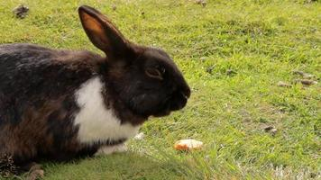 a black rabbit is eating a carrot on a lawn