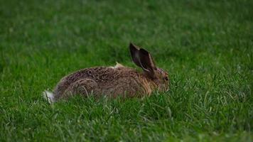 Lindo conejo con orejas largas come hierba en la pradera, dulce nariz que huele