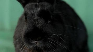 Small dwarf black bunny close-up video
