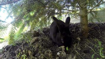 schwarzes Kaninchen, das mit einer gelben Katze unter Kiefer spielt video