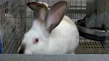 lapins à la ferme en cage 6