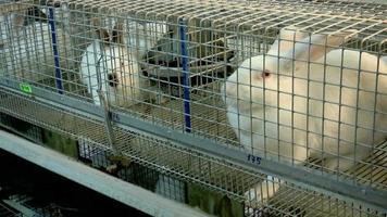 conejos en la granja en la jaula 1 video