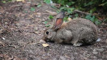 gros lapin gris renifle et regarde autour de lui