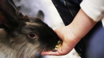 kleines Mädchen, das Kaninchen von der Handfläche füttert