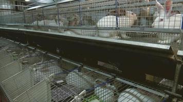 lapins à la ferme en cage 4