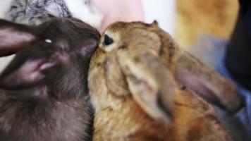 little girl feeding three multi-colored rabbits video