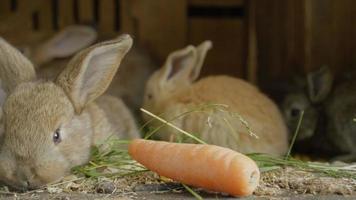 De cerca: curiosos y esponjosos conejitos marrones husmeando, oliendo comida