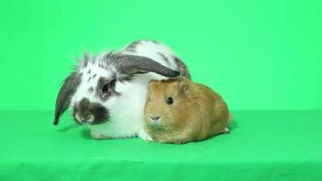 Funny lop-eared bunny and guinea pig