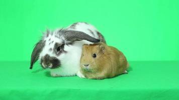 drôle de lapin aux oreilles tombantes et cochon d'Inde