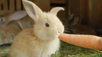 da vicino: carino soffice coniglietto marrone chiaro che mangia grande carota fresca video