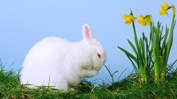 simpatico coniglietto bianco che si gratta il naso accanto ai narcisi