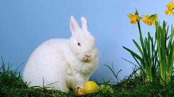 pluizig wit konijntje dat paaseieren snuift naast narcissen video