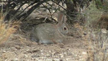 Desert Cottontail Rabbit Taking Dust Bath video