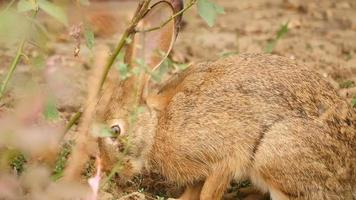 Hare in the bushes eating grass